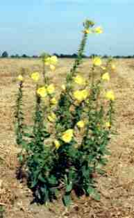 Evening primrose in flower